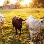 Drôle d'époque: Quand les vaches réchauffent les Hommes!