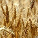 La générosité du ciel augmente les récoltes du Maroc